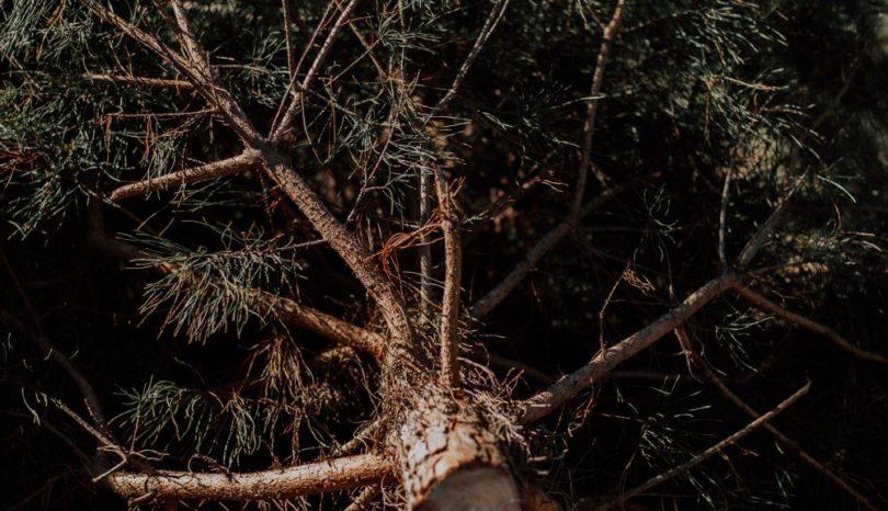 Trädbeskärning i Lund